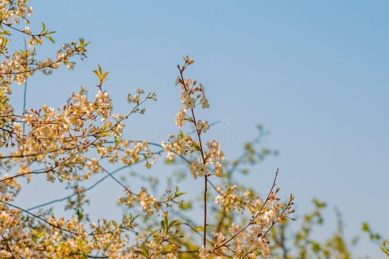Verzweigen Sie sich mit Kirschblumen auf Himmelhintergrund stockbilder