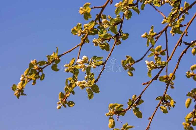 Verzweigen Sie sich mit Kirschblumen auf Himmelhintergrund stockbild