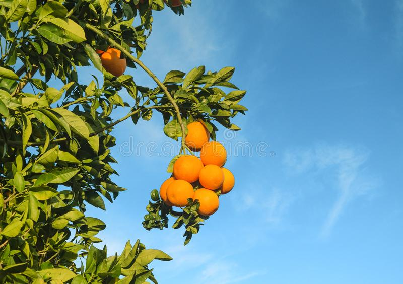 Verzweigen Sie sich mit Orangen auf einem Orangenbaum lizenzfreie stockfotos