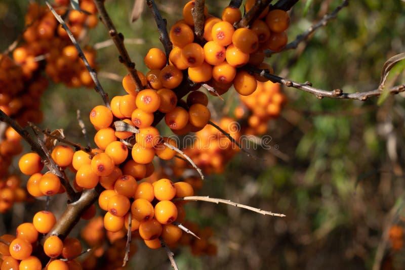 Verzweigen Sie sich mit Sanddornbeeren Beeren sind in den Vitaminen reich lizenzfreie stockfotos
