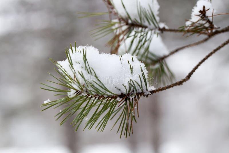 Verzweigen Sie sich mit Schnee stockbilder