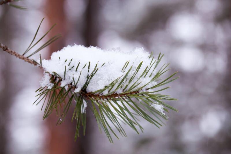 Verzweigen Sie sich mit Schnee lizenzfreies stockbild