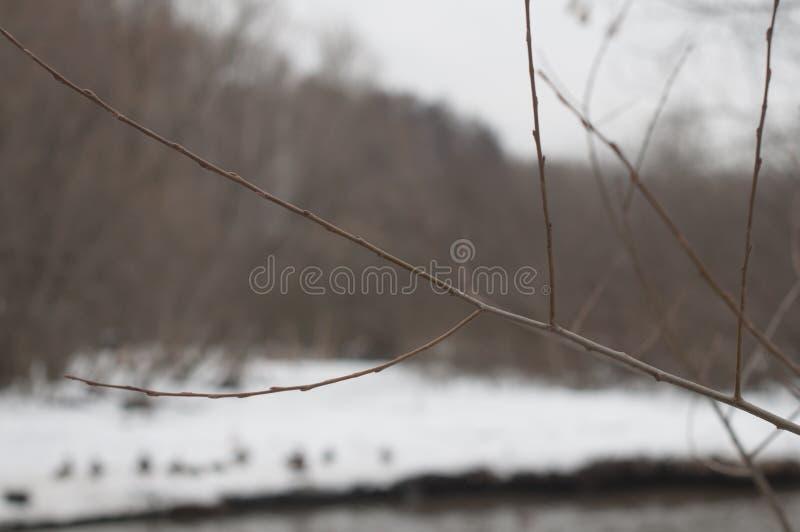 Verzweigen Sie sich in Winter stockbilder