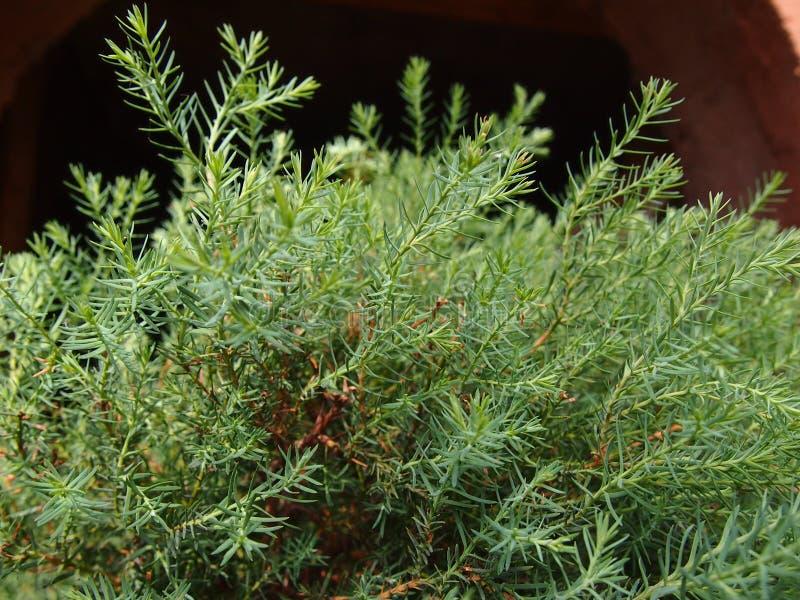 Verzweigt sich Arborvitae stockfoto