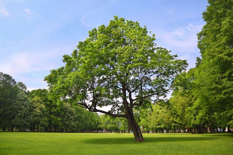 Verzweigtes Ahornholz steht im Mittelpark stockbilder