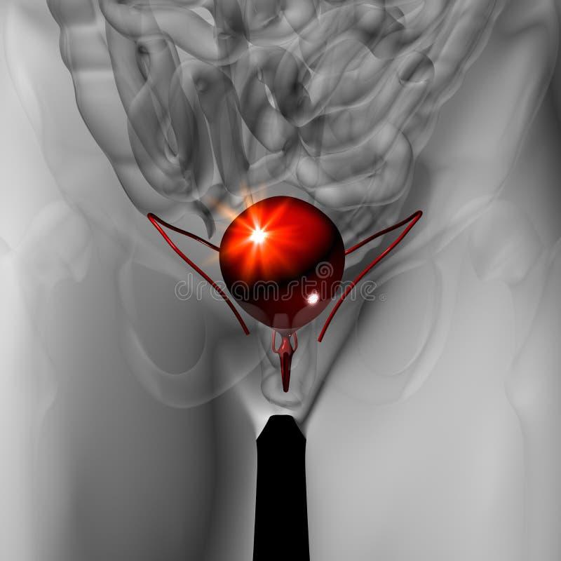 Vescica - anatomia maschio degli organi umani - vista dei raggi x illustrazione di stock