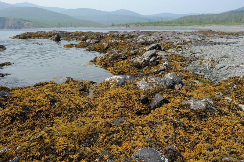 Vesiculosus do fuco do fuco de bexiga Costa do mar do ‹Okhotsk do †do ‹do †Extremo Oriente, Rússia fotos de stock