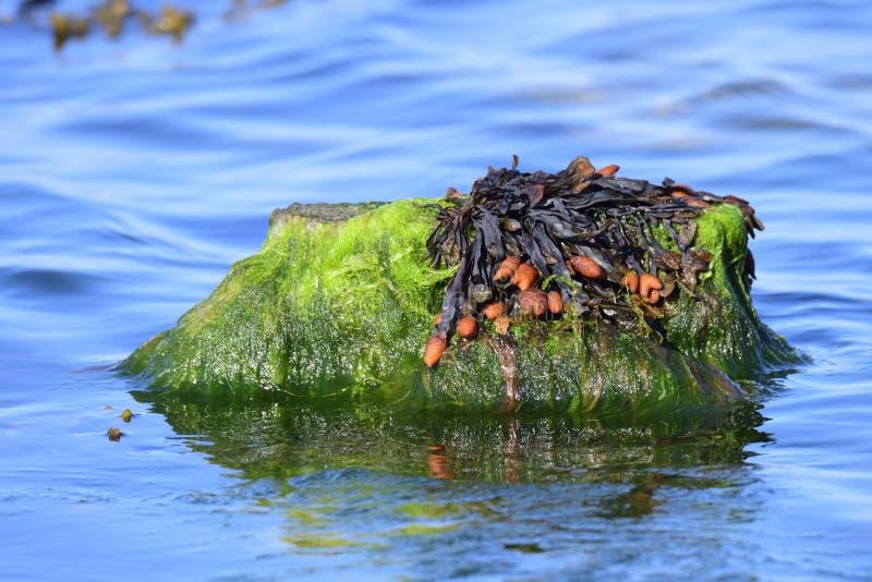 Vesiculosus do fuco no mar Báltico imagem de stock royalty free