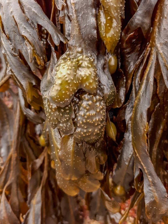 Vesiculosus Linnaeus da alga/fuco da alga vesicular negra - ascendente próximo imagens de stock royalty free