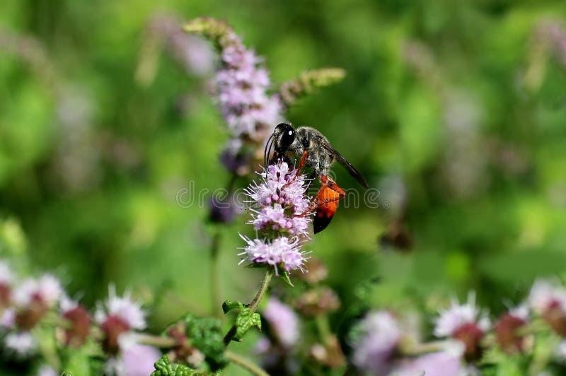 Vespa alaranjada que recolhe o néctar fotografia de stock