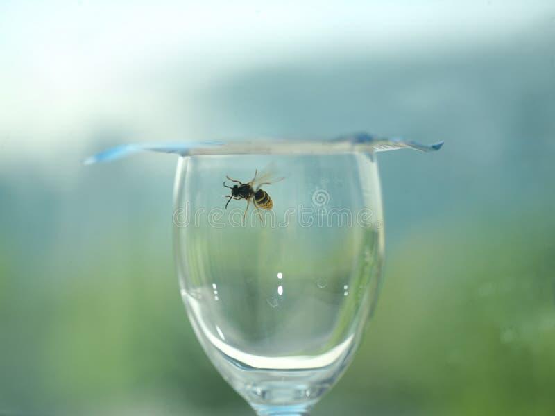Vespa bloccata in un vetro di vino immagine stock