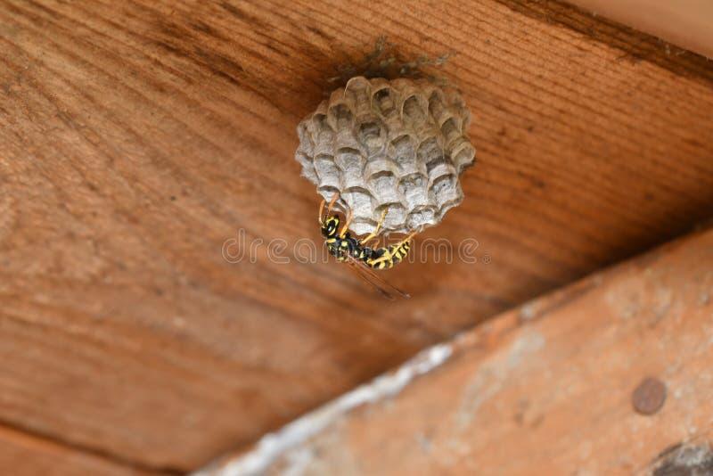 Vespa che si siede nella macro del nido fotografia stock libera da diritti
