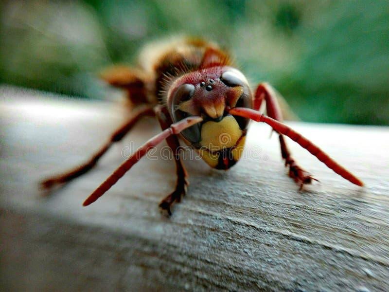 Vespa crabro face. Wasp, close-up, eyes, macro, vespa, warrior royalty free stock image