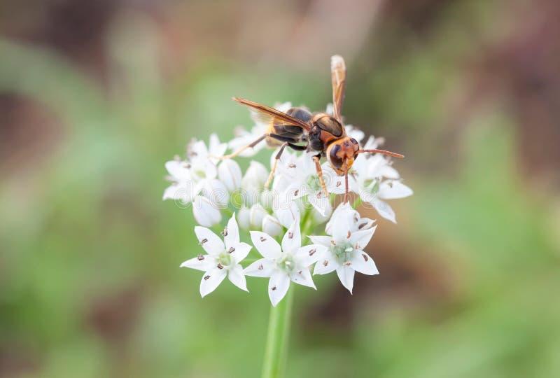 A vespa da flor branca fotos de stock royalty free