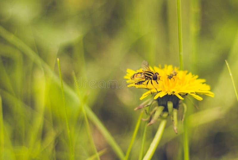 Vespa do campo do dente-de-leão do verão fotos de stock
