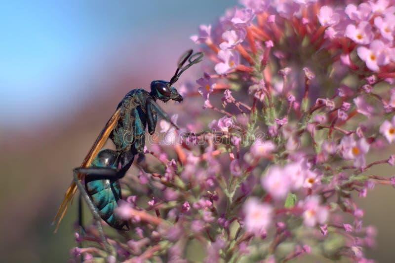 Vespa do falcão do Tarantula em flores cor-de-rosa fotos de stock
