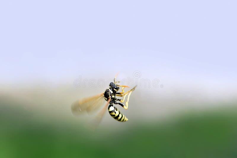A vespa do inseto voa em um fundo borrado fotografia de stock