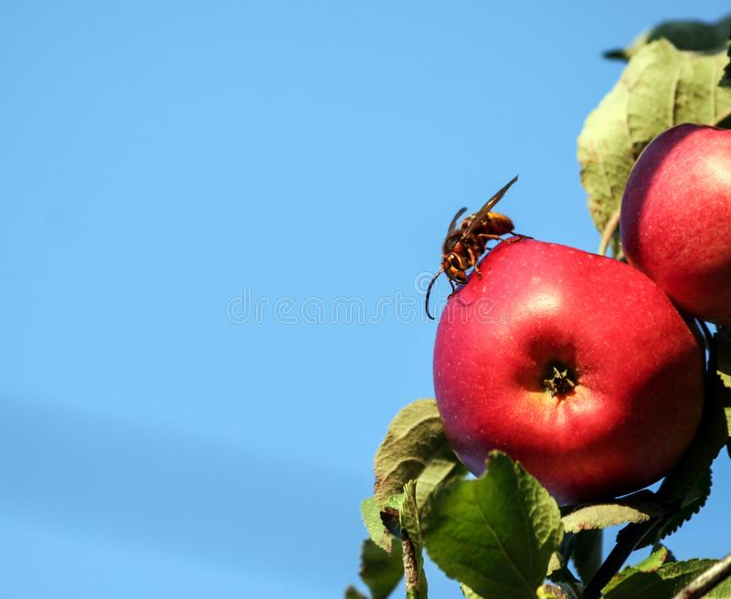 Vespa a huge hornet sits on a red apple, a tree branch against a blue sky. Lit by sunlight, an insect in full growth, visible head, green foliage, background stock image