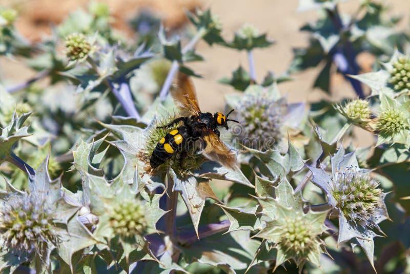 Vespa muito grande gigantesca do maculata de Megascolia da vespa imagens de stock