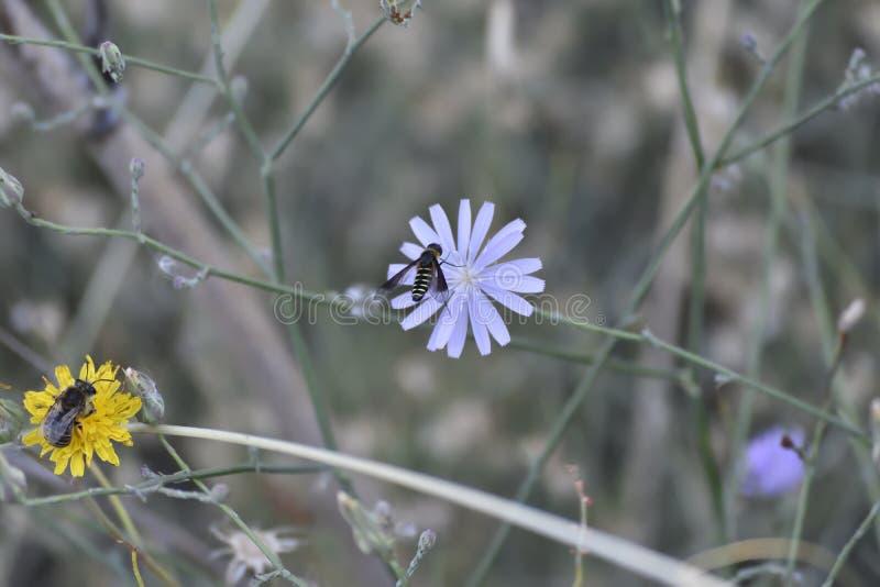 Vespa nera che cerca polline su un fiore porpora immagini stock libere da diritti