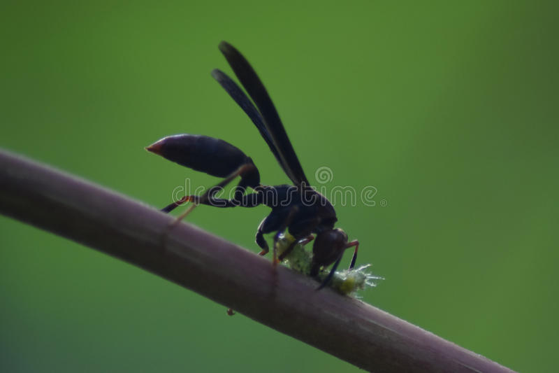 Vespa nera che uccide un insetto in amazonas Perù fotografie stock libere da diritti