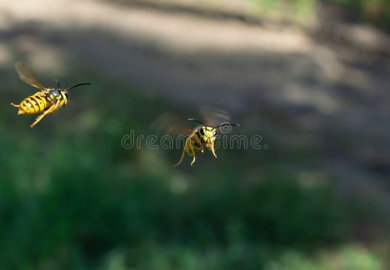 A vespa olha em voo a câmera em nós imagem de stock