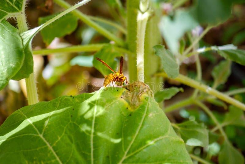Vespa predatório que come a larva da praga em uma folha danificada de uma planta do girassol imagens de stock