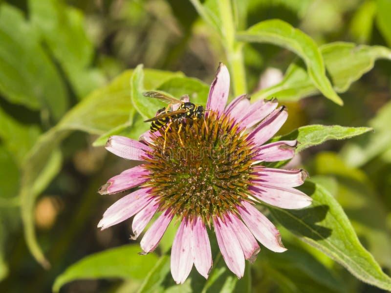 Vespa su coneflower porpora, echinacea purpurea, primo piano del fiore, fuoco selettivo, DOF basso immagini stock libere da diritti