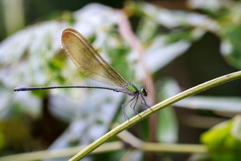 Vestalis薄肌的dragonflyAmphipterygidae的图象 图库摄影