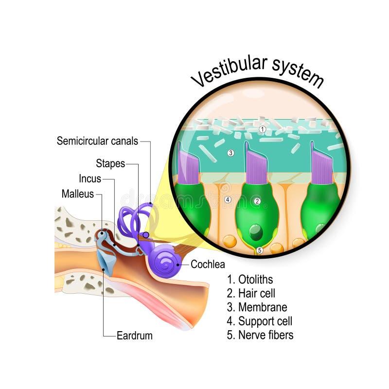 Vestibulair systeem binnenoor met slakkehuis Close-up van haarcellen in een macula stock illustratie
