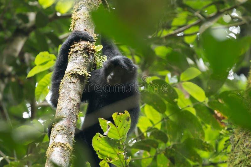 Vestitus posto em perigo do lar do Hylobates do gibão do lar de Sumatran, no parque nacional de Gunung Leuser, Sumatra, Indonésia foto de stock
