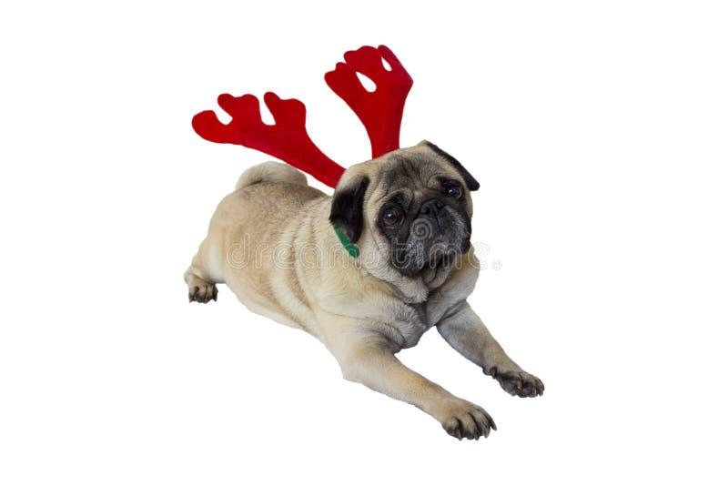 Vestuário vestindo 8 do Natal do Pug bege fotografia de stock royalty free