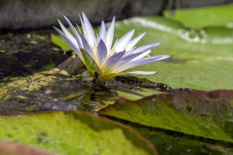 Vesuve Zimnotrwały Waterlily w kwiacie, piękna czerwona żółta kwiecenie woda kwitnie, leluja płatki obrazy royalty free