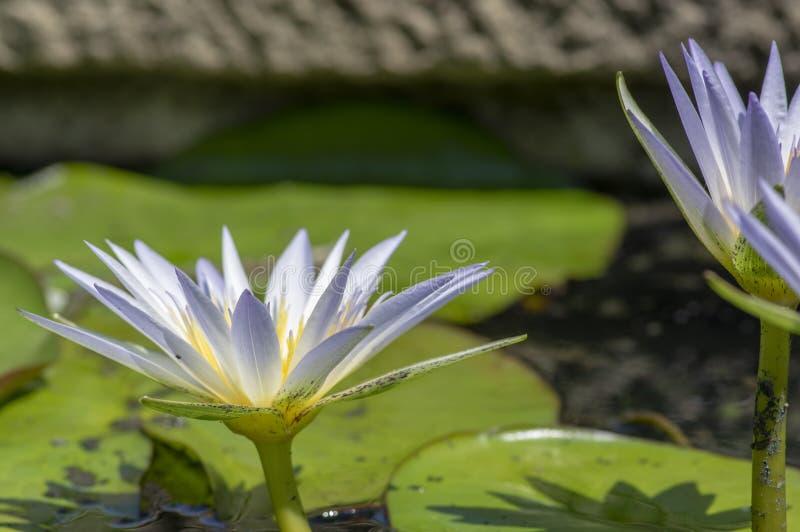 Vesuve Zimnotrwały Waterlily w kwiacie, piękna czerwona żółta kwiecenie woda kwitnie, leluja płatki obrazy stock