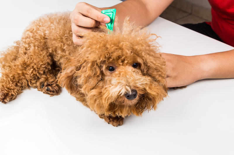 Vet applying ticks, lice and mites control medicine on dog. Vet applying ticks, lice and mites control medicine on poodle dog with long fur royalty free stock photo