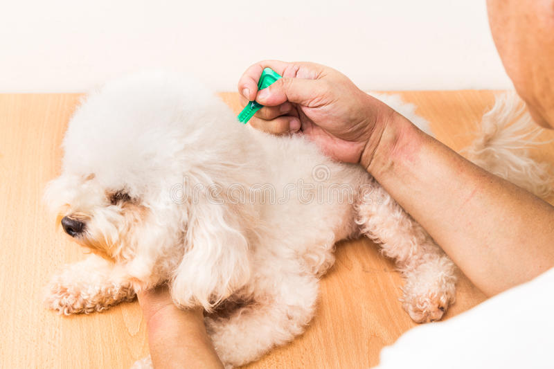 Vet applying ticks, lice and mites control medicine on dog. Vet applying ticks, lice and mites control medicine on poodle dog with long fur stock photo