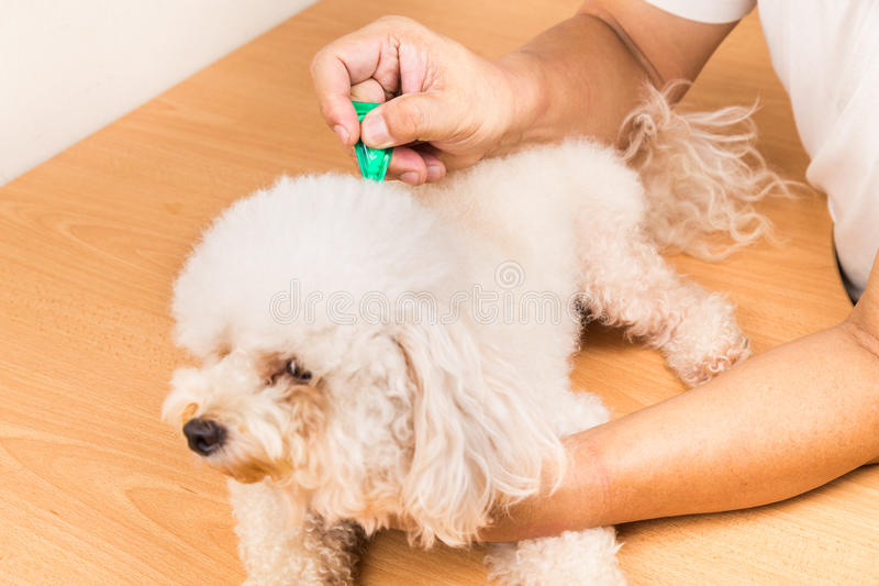 Vet applying ticks, lice and mites control medicine on dog. Vet applying ticks, lice and mites control medicine on poodle dog with long fur royalty free stock images