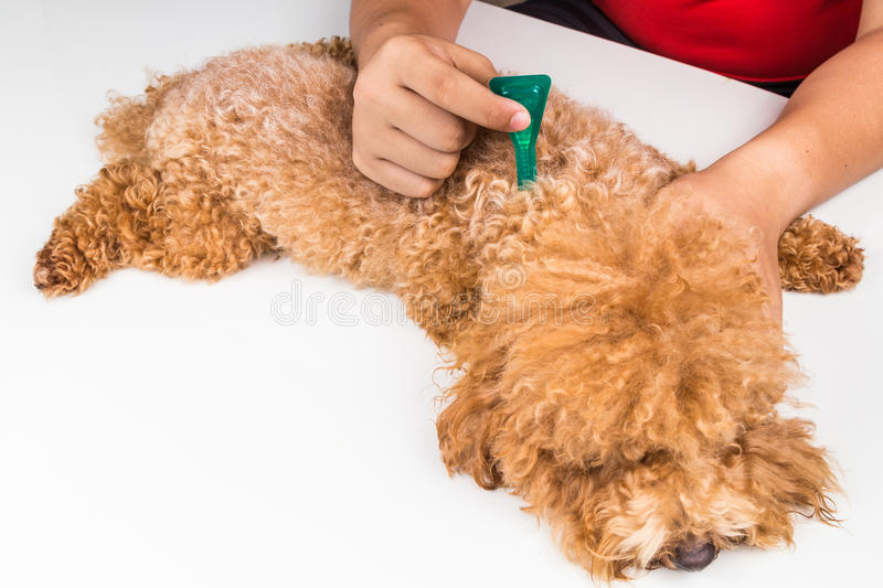 Vet applying ticks, lice and mites control medicine on dog. Vet applying ticks, lice and mites control medicine on poodle dog with long fur royalty free stock photos