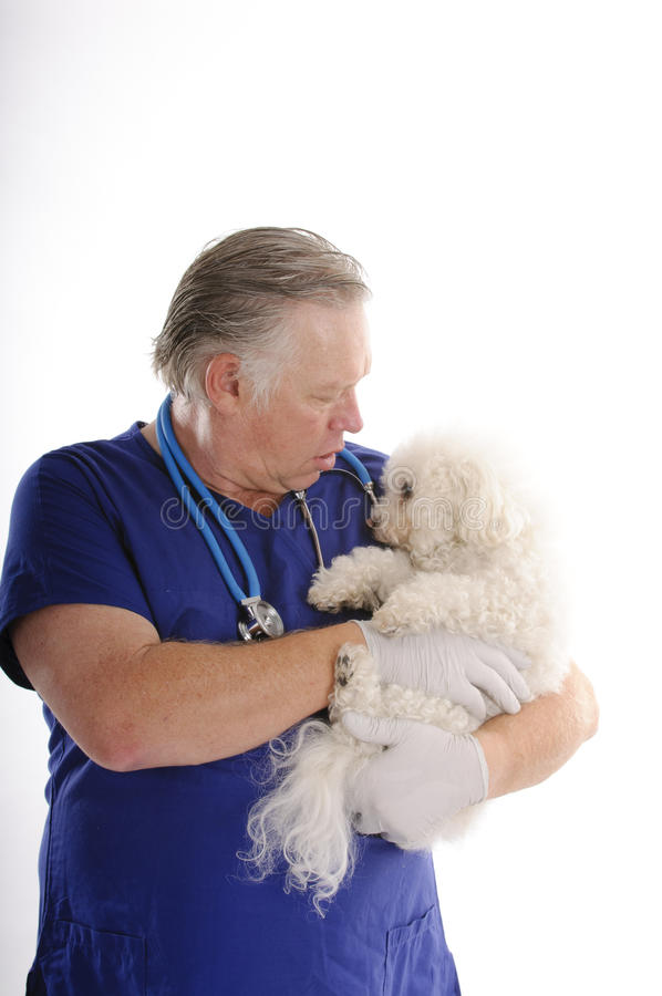 Vet with Bichon Frise royalty free stock photo