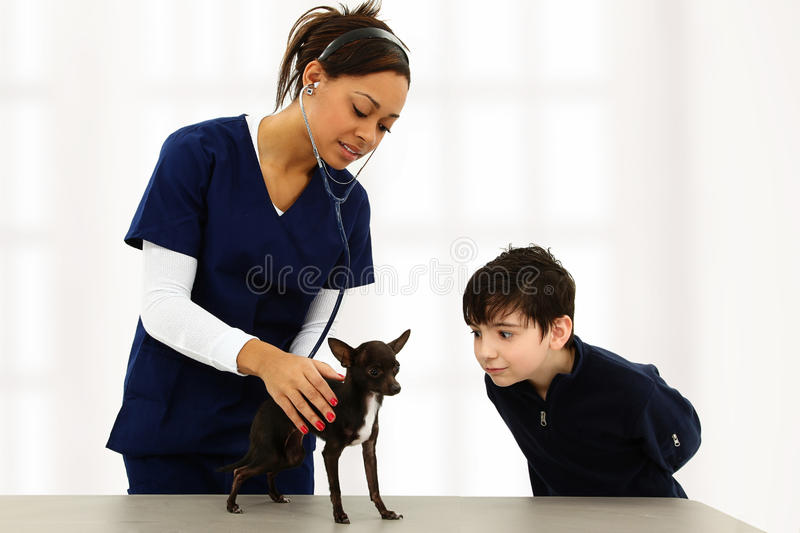 Vet and Child with Chihuahua. Vet using stethoscope on boys' Chihuahua puppy while boy makes goofy faces to distract stock photos