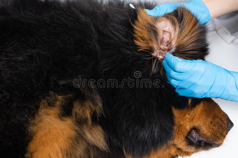 Vet doctor cleans ears wadded sticks sick dog. Treatment dogs have the vet royalty free stock image