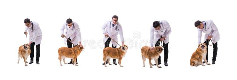The vet doctor examining golden retriever dog isolated on white stock photos