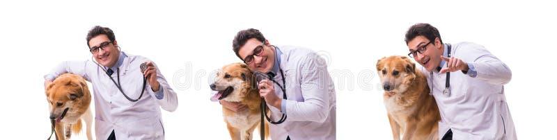 The vet doctor examining golden retriever dog isolated on white. Vet doctor examining golden retriever dog isolated on white stock images