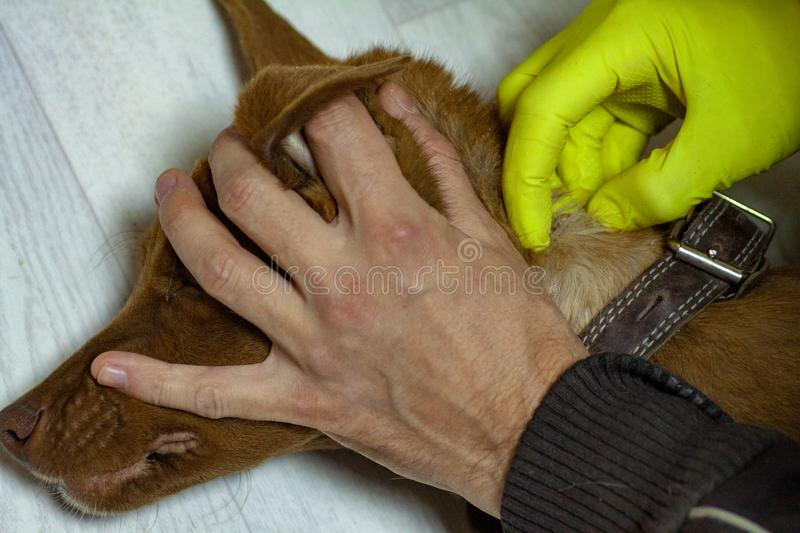 The mite bites a reddish dog. The vet doctor removes the Ixodes tick from a dog that has been bitten into the neck. Tick sucked to the skin of the dog. Mite royalty free stock images