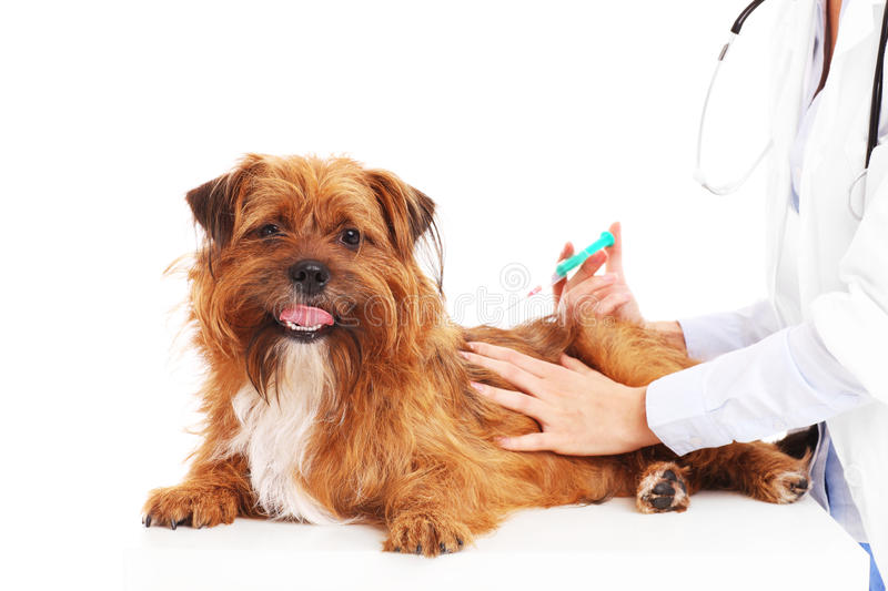 Vet dog and injection stock photos