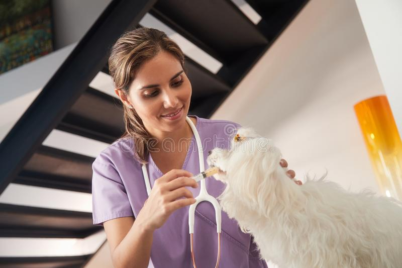 Vet And Dog Owner Giving Medicine Drug To Dog. Young hispanic woman working as veterinary, vet teaching dog owner how to give prescription medicine and drug to royalty free stock images