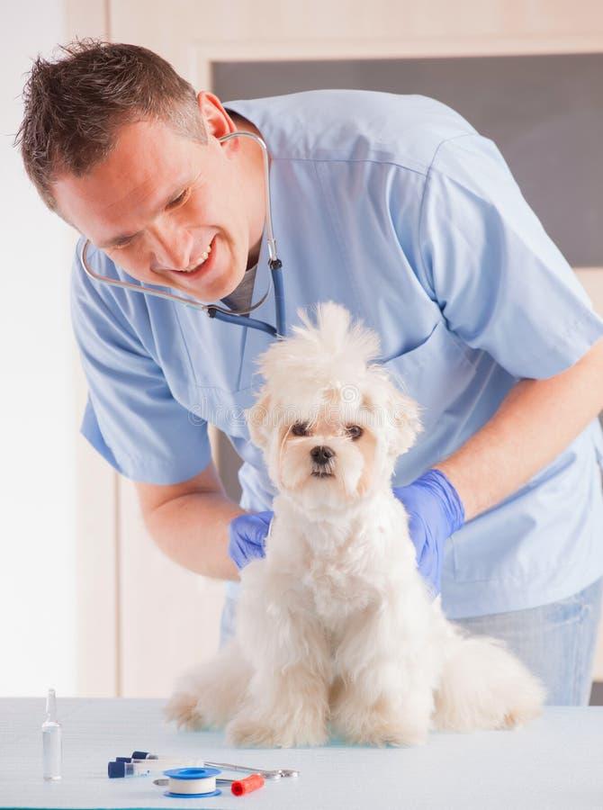 Vet and dog. Smiling vet making a checkup of a dog maltese royalty free stock photos