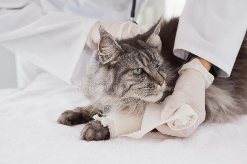 Vet doing bandage at grey cat. In medical office royalty free stock images