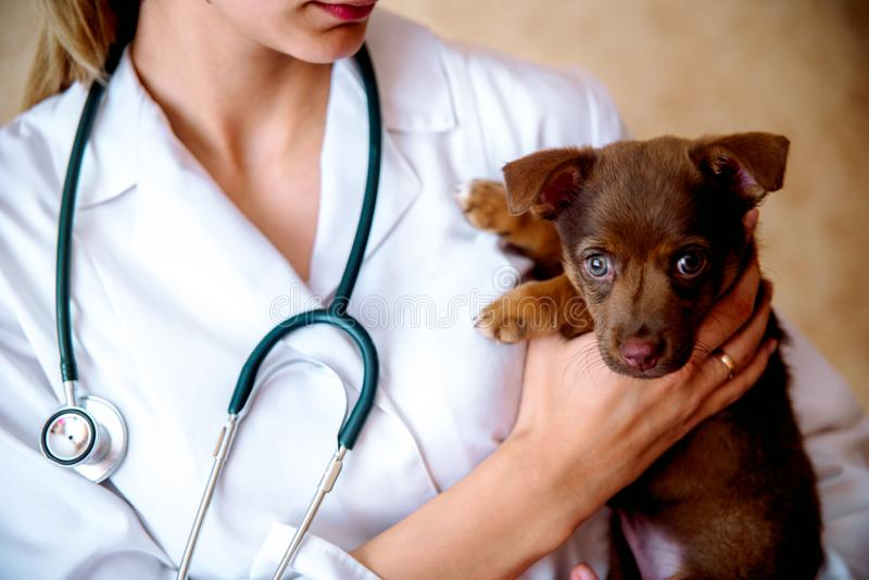 The vet examines a puppy in the hospital. the little dog got sick. puppy in the hands of a veteran doctor. The vet examines a puppy in the hospital. the little stock photography