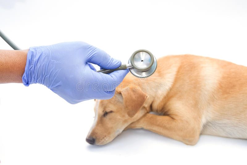 Vet examing sick dog with stethoscope stock images